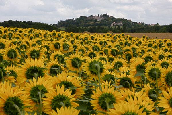 A sunflower field at Plum Village