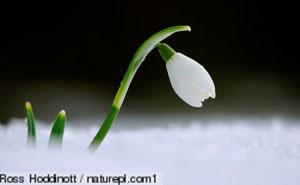 Snowflower-Ross-Hodnott-naturepl